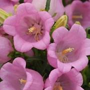 Колокольчик средний Campana pink -5 шт