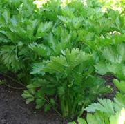 Сельдерей листовой Бодрость-0,5гр (У/П)