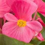 Бегония вечноцветущая ИМПЕРОР Роуз -10 драже