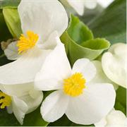 Бегония вечноцветущая ИМПЕРОР белая-10 драже