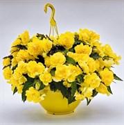 НОВИНКА!Бегония Нонстоп Joy Yellow -5 драже
