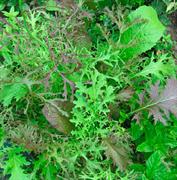 Горчица сарептская салатная Мей Лин-1гр (Ц/П)