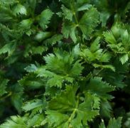 Сельдерей листовой Нежный-0,5гр (Ц/П)
