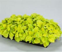 Колеус Fairway желтый -10 шт