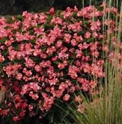Бегония benariensis BIG DeluXXe Rose Green Leaf - 3 шт
