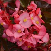 Бегония Megawatt Rose Bronze Leaf - 3 драже