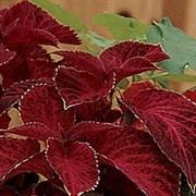 Колеус Визард Velvet Red - 10шт