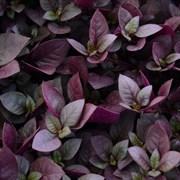 НОВИНКА!Альтернатера бразильская  Purple Prince -3 шт