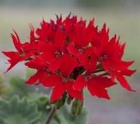 Пеларгония зональная Квантум Красная - 4 шт
