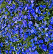 Лобелия Cobalt Blue-20 шт