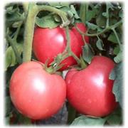 Томат индетерминантный розовый Пинк Мун F1 - 5шт (профсемена)