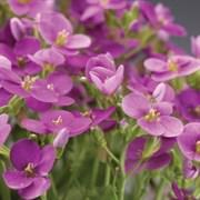 Арабис кавказский (Arabis caucasica)  LITTLE TREASURE Deep Rose - 10 шт