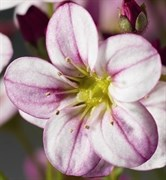 Камнеломка Арендса (Saxifraga x arendsii) Highlander Rose shades-10 шт