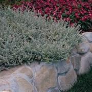 Гелихризум Silver Mist Helichrysum - 3 мдраже