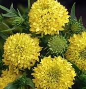 Гайлардия красивая (Gaillardia pulchella)  PLUME YELLOW -10 шт