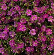 Гипсофила Gypsy Deep rose - 20 семян