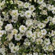 Гипсофила Gypsy Compact White - 20 семян