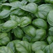 Базилик овощной Тонус - 0,25гр (профсемена)