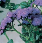 Агератум высокорослый Горизонт blue-10 шт