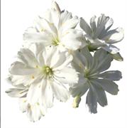 Левизия котиледон  Elise White - 5 шт