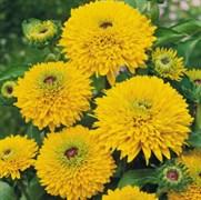 Рудбекия волосистая Maya Cone Flower - 5 шт
