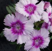 Гвоздика китайская Diana F1 lavender picotee-5шт
