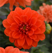 Георгина летняя Фигаро orange shades -10шт