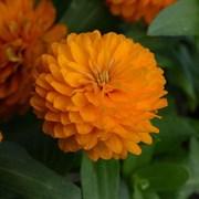 Цинния мариландская махровая ДАБЛ ЗАХАРА Bright Orange -5 шт