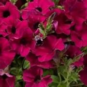Петуния минимультифлора Пендолино Violet -  5 драже