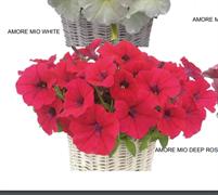 Петуния многоцветковая каскадная  АМОРЕ МИО Rose - 5 драже