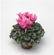 Цикламен персидский Friller pink - 2 шт