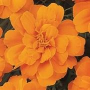 Бархатцы отклонённые Durango Tangerine -10 шт