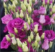 Эустома (Лизиантус) РОЗИТА 3 Purple Rose - 5 драже