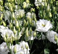 Эустома (Лизиантус) Robella 2 Pure White - 5 драже
