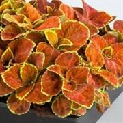 Колеус Fairway оранж -10 шт