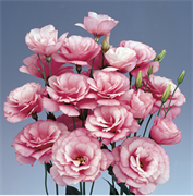 Эустома(Лизиантус) Borealis  0 Pink - 5 драже