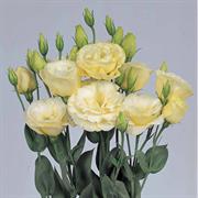 Эустома(Лизиантус) Borealis  0 Yellow - 5 драже