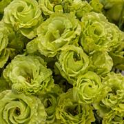 Эустома(Лизиантус) Rosanne 2 Green - 5 драже