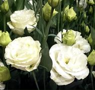 Эустома (Лизиантус) QUEEN white - 5 драже