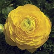 Ранункулюс (лютик) азиатский MAGIC желтый - 5 шт