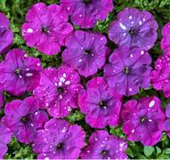 Петуния гибридная многоцветковая Дот Стар Дарк Ваилит F1- 5 драже