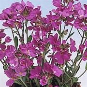 Арабис Spring Charm - 10 шт