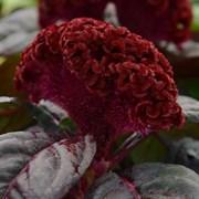 Целозия Концертина Red Dark Leaf -5 шт