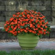 Бальзамин Уоллера Beacon  Orange - 10 шт
