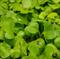 Репа листовая Комацуна зелёная - 1гр - фото 10822