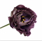 Подарок.Эустома(Лизиантус) Rosanne 1 Black Pearl - 5 драже - фото 11311