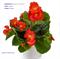 Бегония межвидовая Tophat Scarlet-3 драже - фото 11519