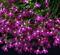 Лобелия Fountain Crimson -20шт - фото 9668
