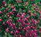 Лобелия Fountain Rose -20шт - фото 9669