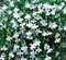 Лобелия Fountain White-20шт - фото 9671